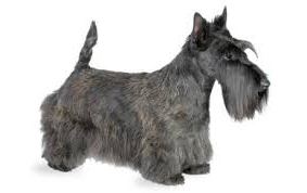 CHS's original mascot was the Scottish Terrier, or